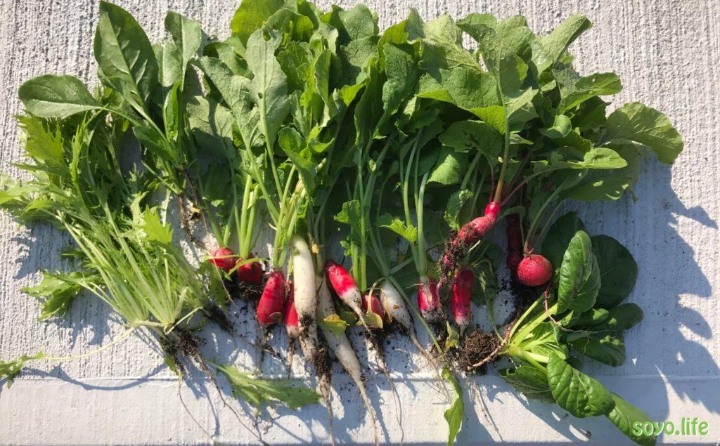 そよ家の家庭菜園ー今日の収穫