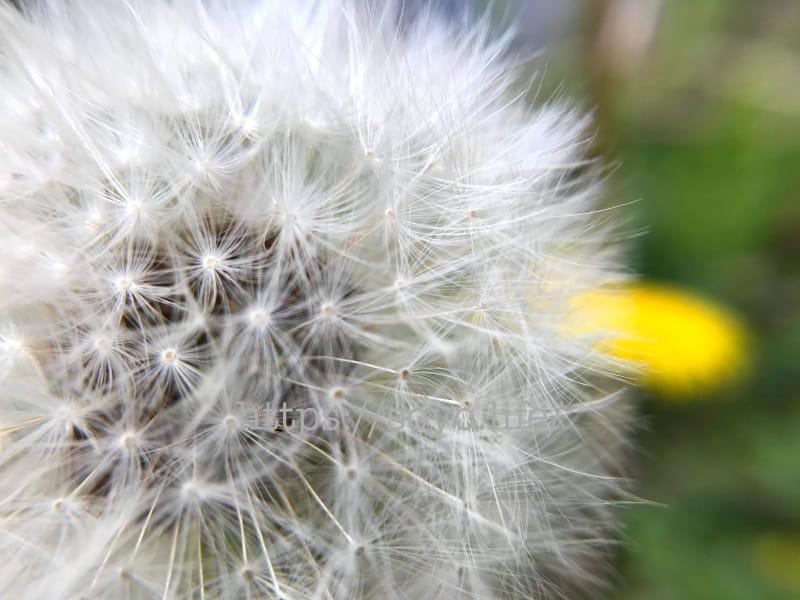 セイヨウタンポポの綿毛